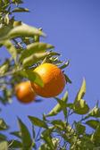 橙色水果树上 — 图库照片