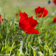 Uncultivated red poppies in spring field.Israel. — Stock Photo #16827175
