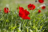 Uncultivated red poppies in the spring field.Israel. — Stock Photo