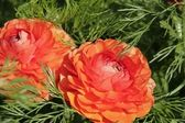 Couple of Persian buttercups — Stock Photo