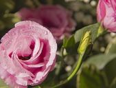 Pink Eustoma flower With waterdrops — Stockfoto