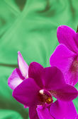 Violet Orchid Flowers on green sateen background with copyspace — Stock Photo