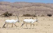 Oryx — Stock Photo