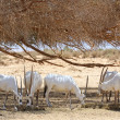 Stock Photo: Oryx herd