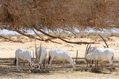 Oryx herd — Stock Photo
