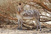 African wild ass — Stock Photo