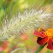 Stock Photo: Ornamental plants - fountain grass