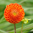 Tangerine dahlia — Stock Photo