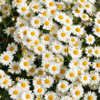 White Matricaria flowers on the meadow. — Stock Photo