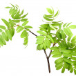 Branch of rowan wgreen leaf - Stock Photo
