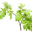 Branch of rowwgreen leaf — Stock Photo #22467681