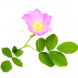 Branch of dog rose with leaf and flower — Stock Photo
