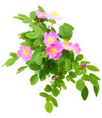 Branch of dog rose with flowers — Stock Photo
