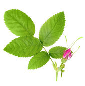 Dog rose with leaf and one bud — Stock Photo
