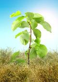 Baum spriessen durch das trockene gras — Stockfoto