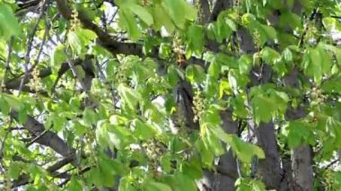 Green chestnut leafs and flowers — Stock Video
