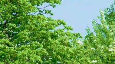 Verdes hojas y flores blancas — Vídeo de stock