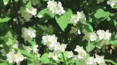 White flowers of jasmine — Stock Video