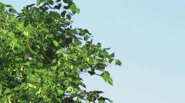 Tree branch of linden tree with young green leaves — Stock Video