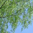 Stock Video: Tree branch of birch tree with young green leaves