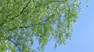 Tree branch of birch tree with young green leaves — Stock Video