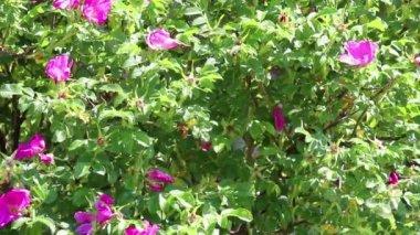 Fond de branches d'Églantine — Vidéo