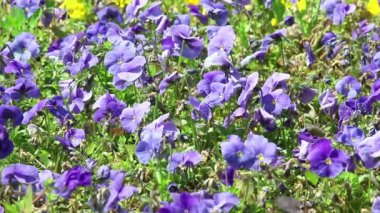Background of violet flowers of pansy — Stock Video