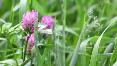 Pink flowers of clover — Stock Video
