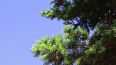 Branchs of young green fir-tree — Stock Video