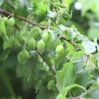 Branch of plum-tree with berrys — Stock Video