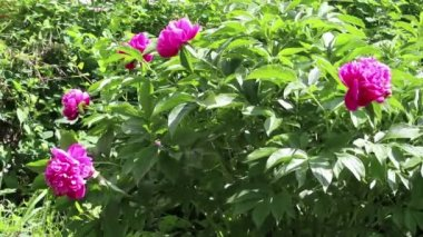 Peony with leaf and purple flower — Stock Video