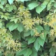 Background of virginia creeper — Stock Video