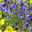 Background of violet and yellow flowers — Vídeo Stock