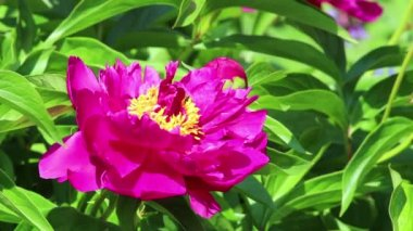 Flower of peony with bee — Stock Video