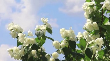 Branch of jasmine with young green leaves and white flowers on blue sky background on light wind in sunny day. Close-up. HD 1920x1080. — Stock Video