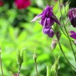 Violet flowers of aquilegia on light wind in sunny day on green grass background. Close-up. HD 1920x1080. — Stock Video
