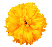 One orange flower of marigold — Stock Photo