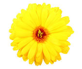 One yellow flower of calendula — Stock Photo