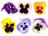 Set of motley pansy flowers — Stock Photo