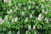 Blossoming of chestnut-tree — Stock Photo