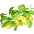 Yellow pears on green branch — Stock Photo