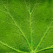 Texture of leaf — Stock Photo #17819929
