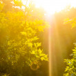 Green leaves and sun — Stockfoto