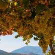 Foto Stock: Ripe grapes