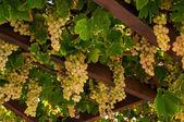 成熟的葡萄 — 图库照片