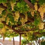 uvas maduras — Foto de Stock