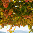 Ripe grapes — Stockfoto