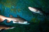 Sand tiger sharks (Carcharias taurus) underwater — Foto Stock
