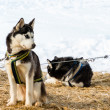 Foto Stock: Husky dog