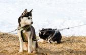 Husky dog — Stock Photo